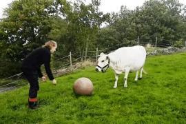 Корова играет в футбол. Забавное видео.