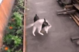 Маленький пёс носит на себе кошку