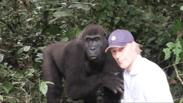 2019 10 09 124639 - Девочка выросла с парой горилл. Спустя 12 лет они встретились