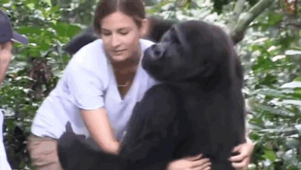 2019 10 09 124737 - Девочка выросла с парой горилл. Спустя 12 лет они встретились