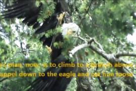 Как освобождали орлана на высоте 12 метров