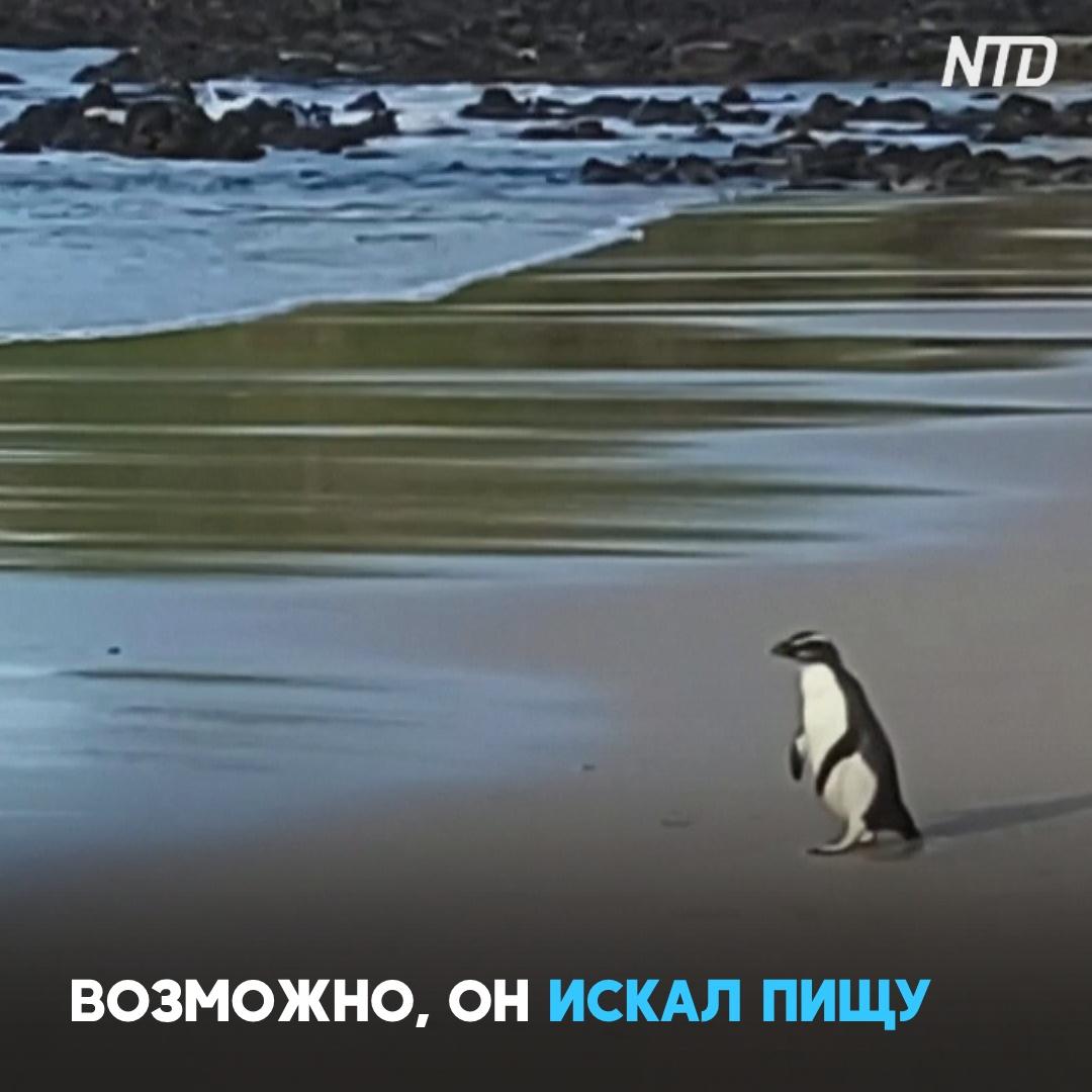 Пингвин-путешественник переплыл Тасманово море, преодолев 2500 км