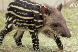 В колумбийском зоопарке растят тапира, от которого отказалась мама