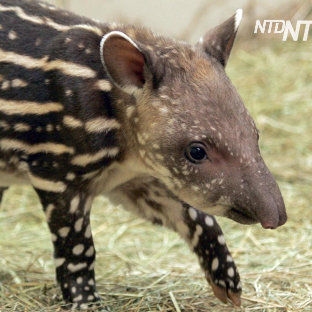 Как в зоопарке растят тапира, от которого отказалась мама