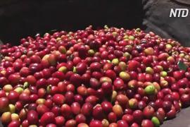 Индонезийские фермеры получают выгоду от кофейного бума