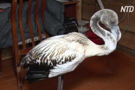 В якутском селе спасли заблудившегося молодого фламинго