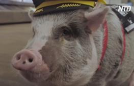 Свинка Лилу поднимает настроение пассажирам в аэропорту Сан-Франциско