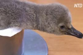 Пражский зоопарк показал птенца редкого пингвина Гумбольдта