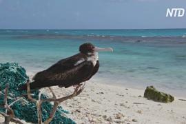 Пластик угрожает популяции альбатросов на атолле Мидуэй