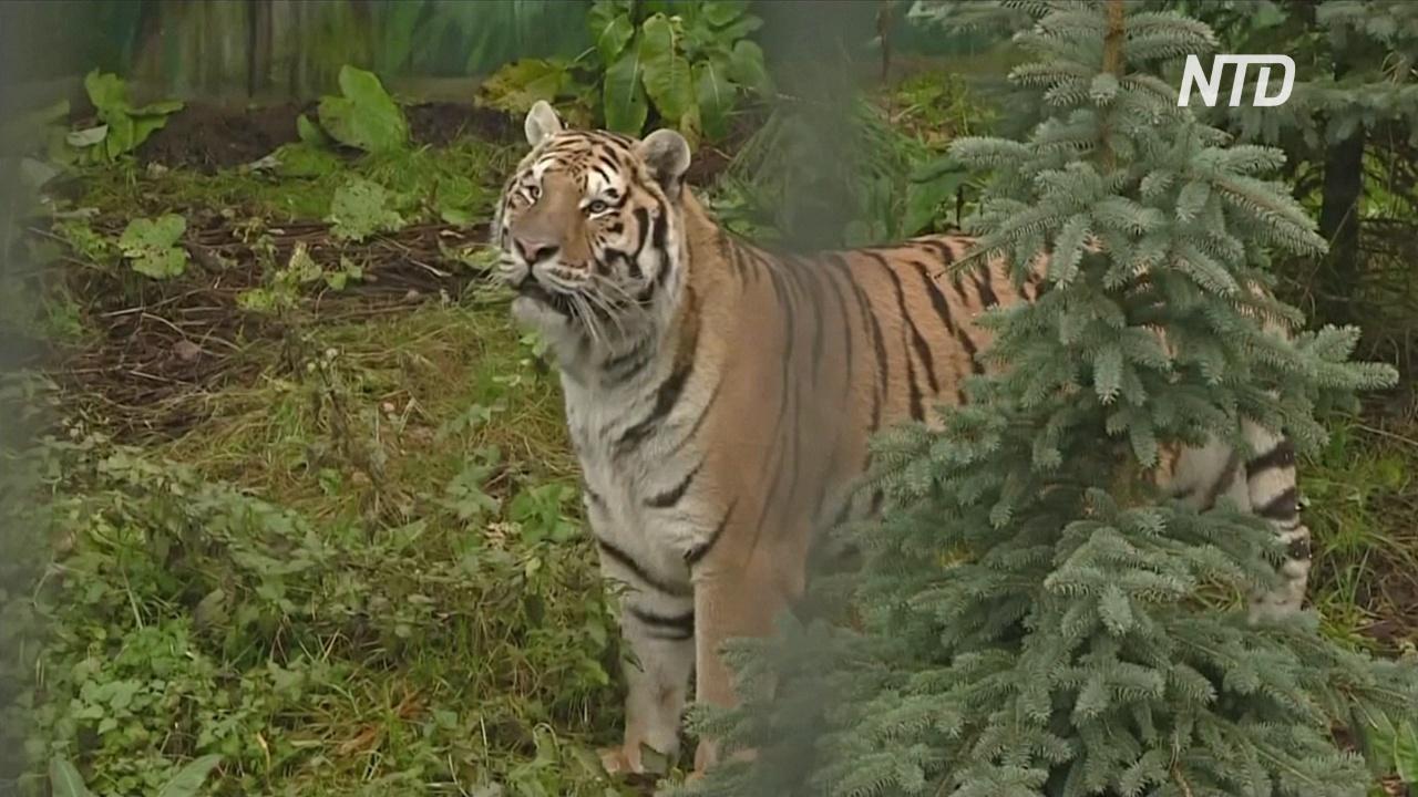 Польский зоопарк Канпол принял двух спасённых тигров, ехавших в Россию