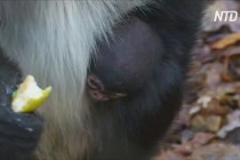 Детёныш мексиканской паукообразной обезьяны – рождение года для зоопарка Чехии