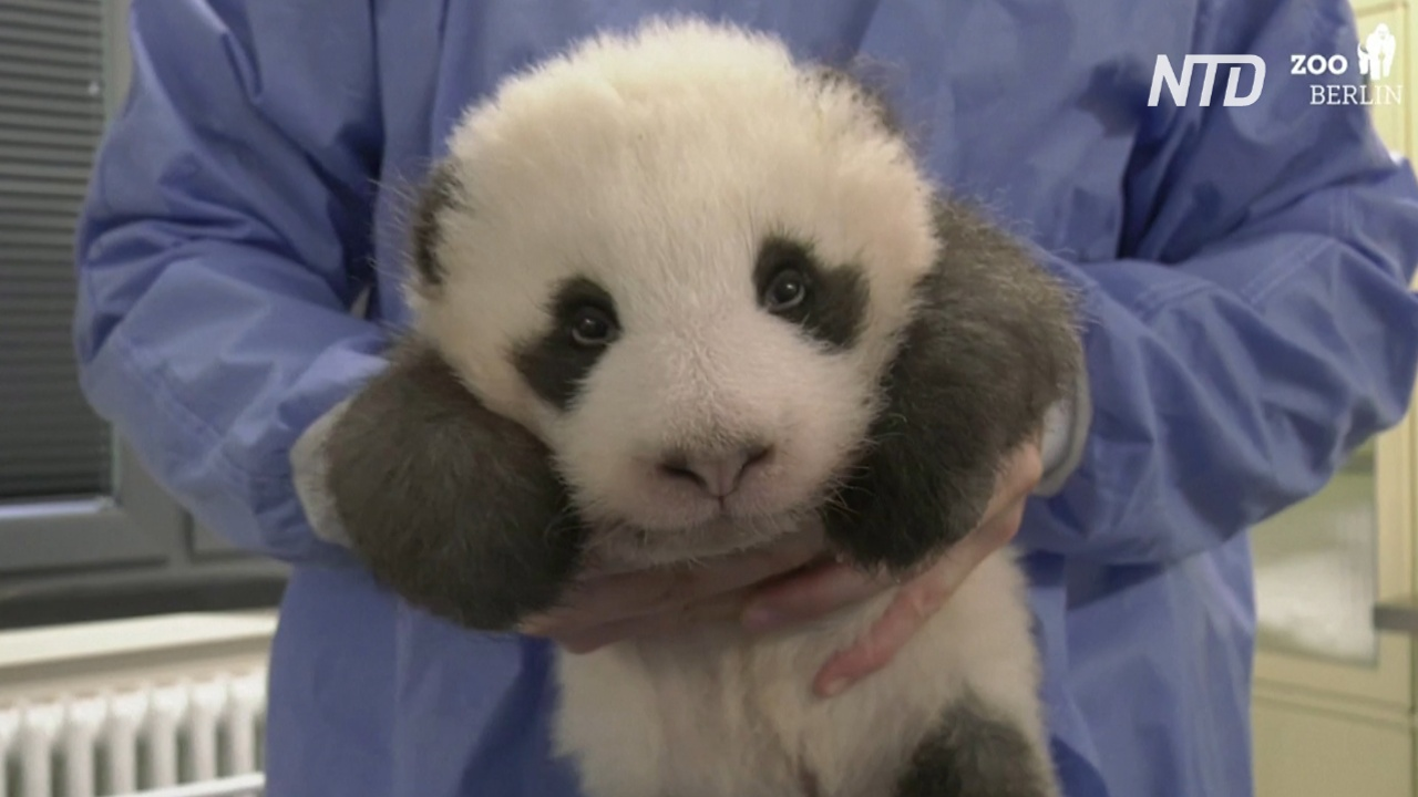 Как икает детёныш панды: видео от берлинского зоопарка
