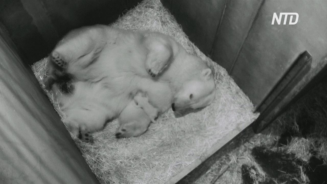 В венском зоопарке подрастает новорождённый белый медвежонок