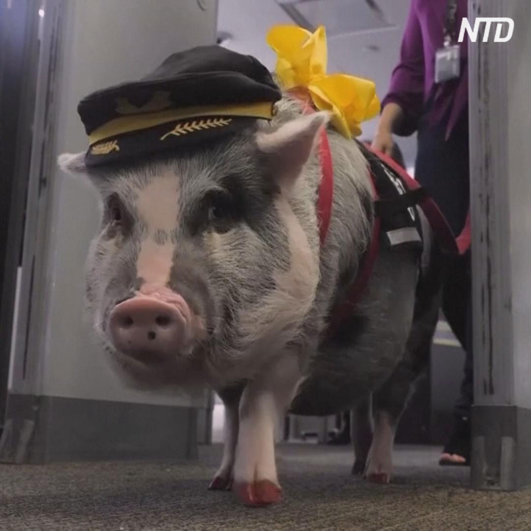Свинка-антистресс развлекает пассажиров перед полётом