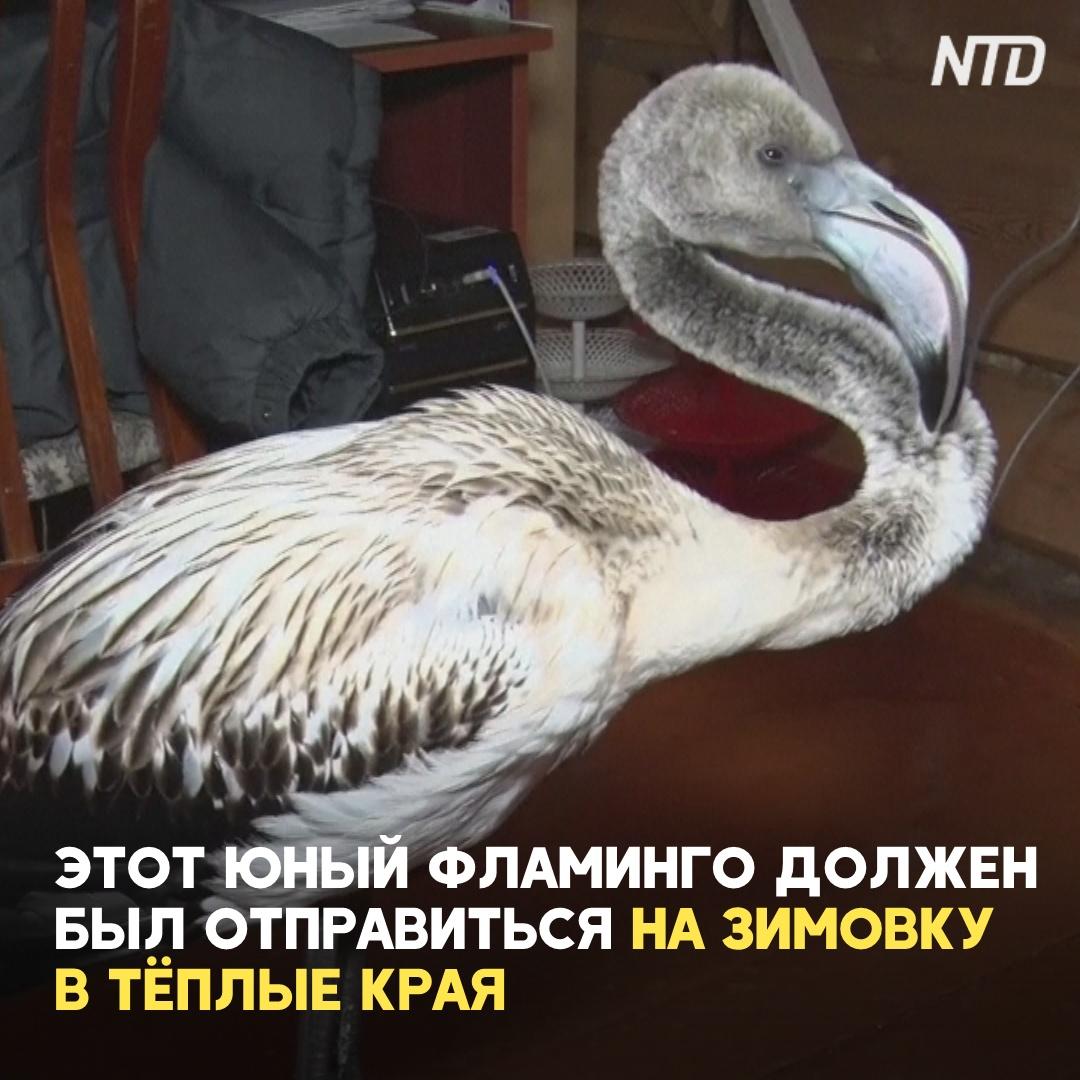 Как фламинго залетел в якутское село