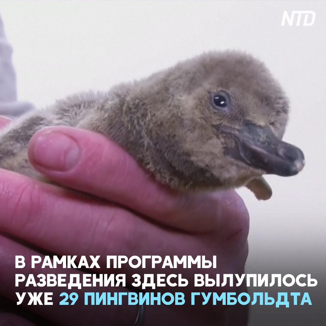 Редкий пингвин Гумбольдта вылупился в Пражском зоопарке