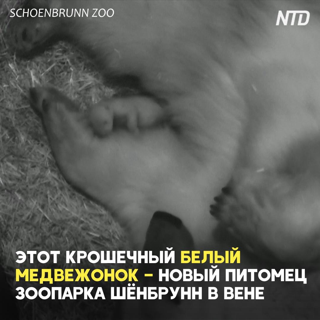 Новорождённый белый медвежонок в зоопарке Вены готовится к дебюту