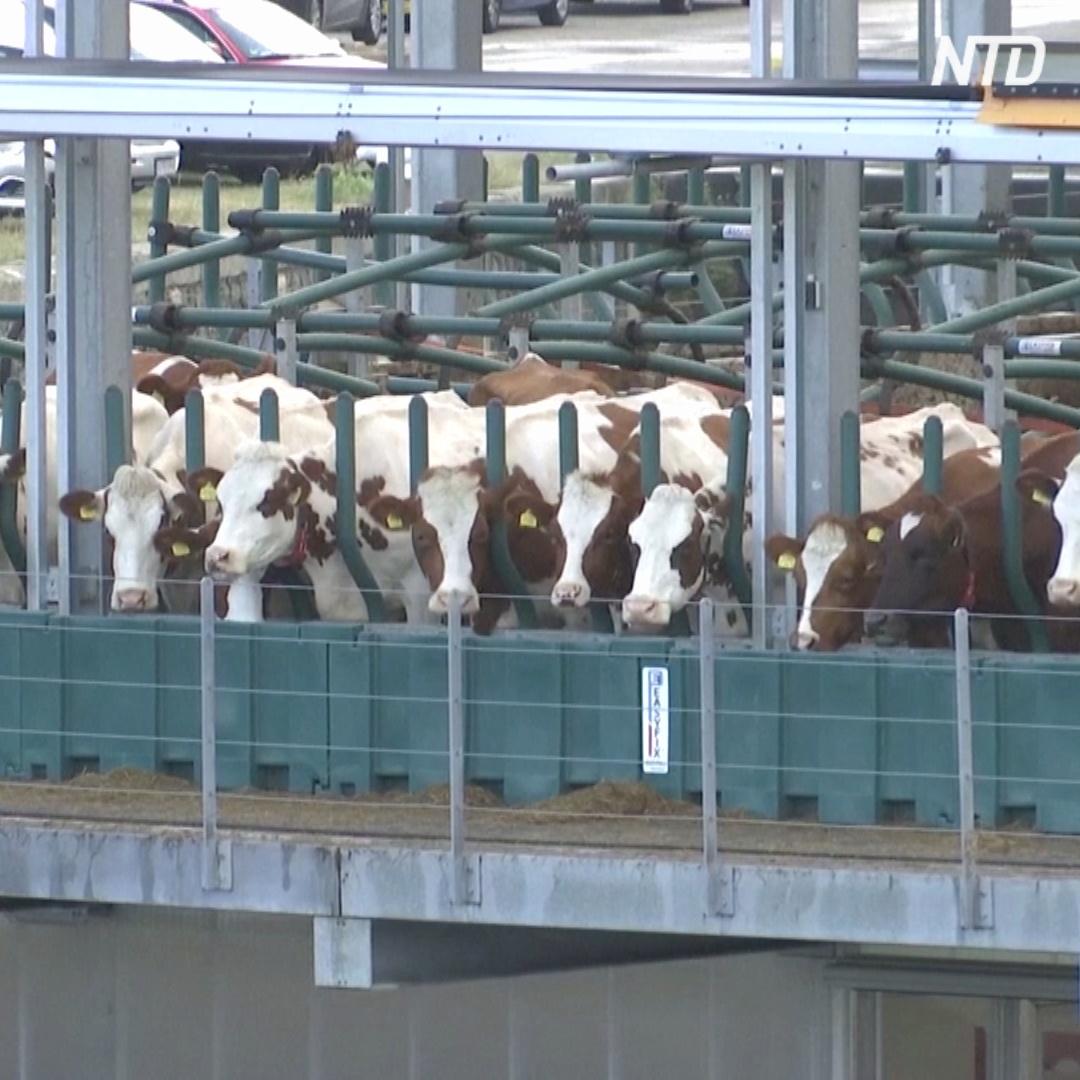 В Нидерландах коров переселили на воду