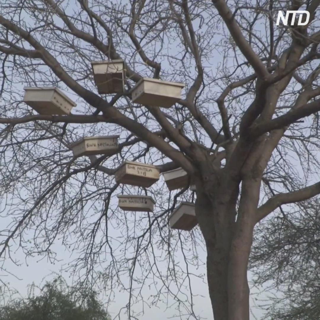 Ульи на деревьях: как племя масаи добывает мёд