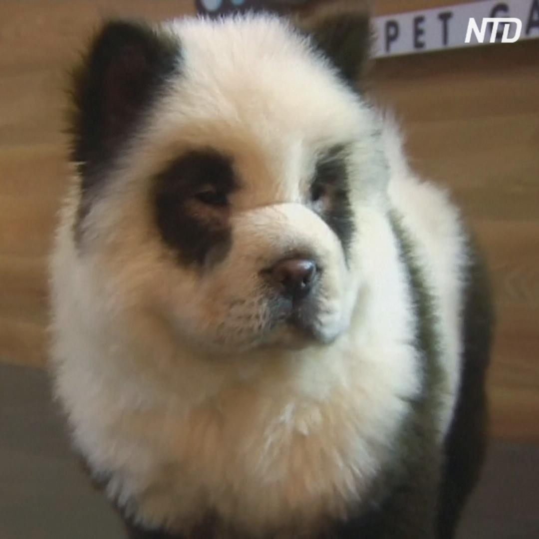 Собак в китайском кафе перекрасили в панд