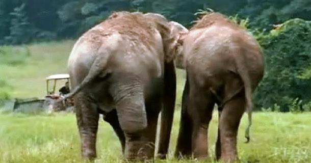 Встреча слонов после 22 лет разлуки. Трогательное видео