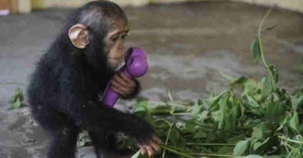Люди нашли способ растопить сердце детёныша шимпанзе