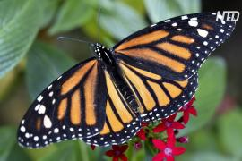 Миллионы бабочек-монархов украсили заповедник в Мексике