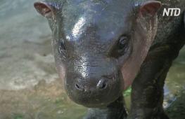 Тайский зоопарк выбирает имя карликовому бегемоту