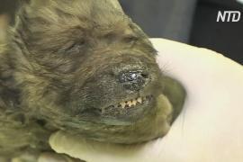 Якутские учёные показали останки щенка, жившего 18 000 лет назад
