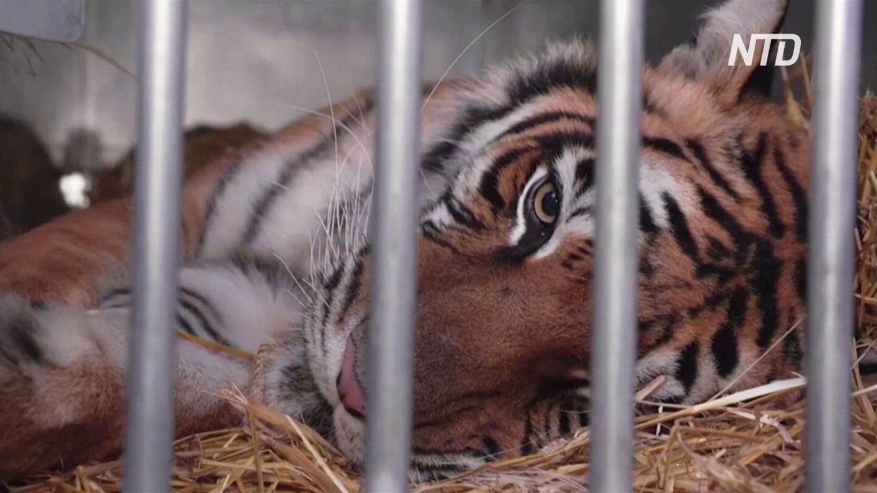 Испания приютила пять тигров, спасённых по пути в Дагестан