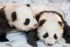 Маленькие панды в Берлинском зоопарке получили клички