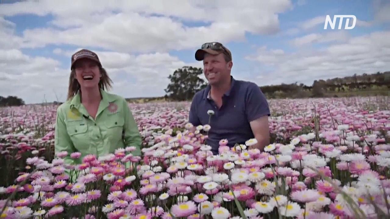 Австралийские фермеры заменяют пшеницу цветами