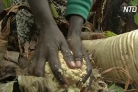 Почему энсета – суперпродукт для жителей Эфиопского нагорья
