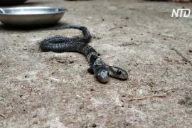 Двухголовая змея вызвала переполох в Индии
