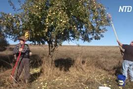 Два американских пенсионера разыскивают исчезнувшие сорта яблонь