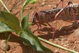 Нашествие саранчи: сомалийские фермеры молят о помощи