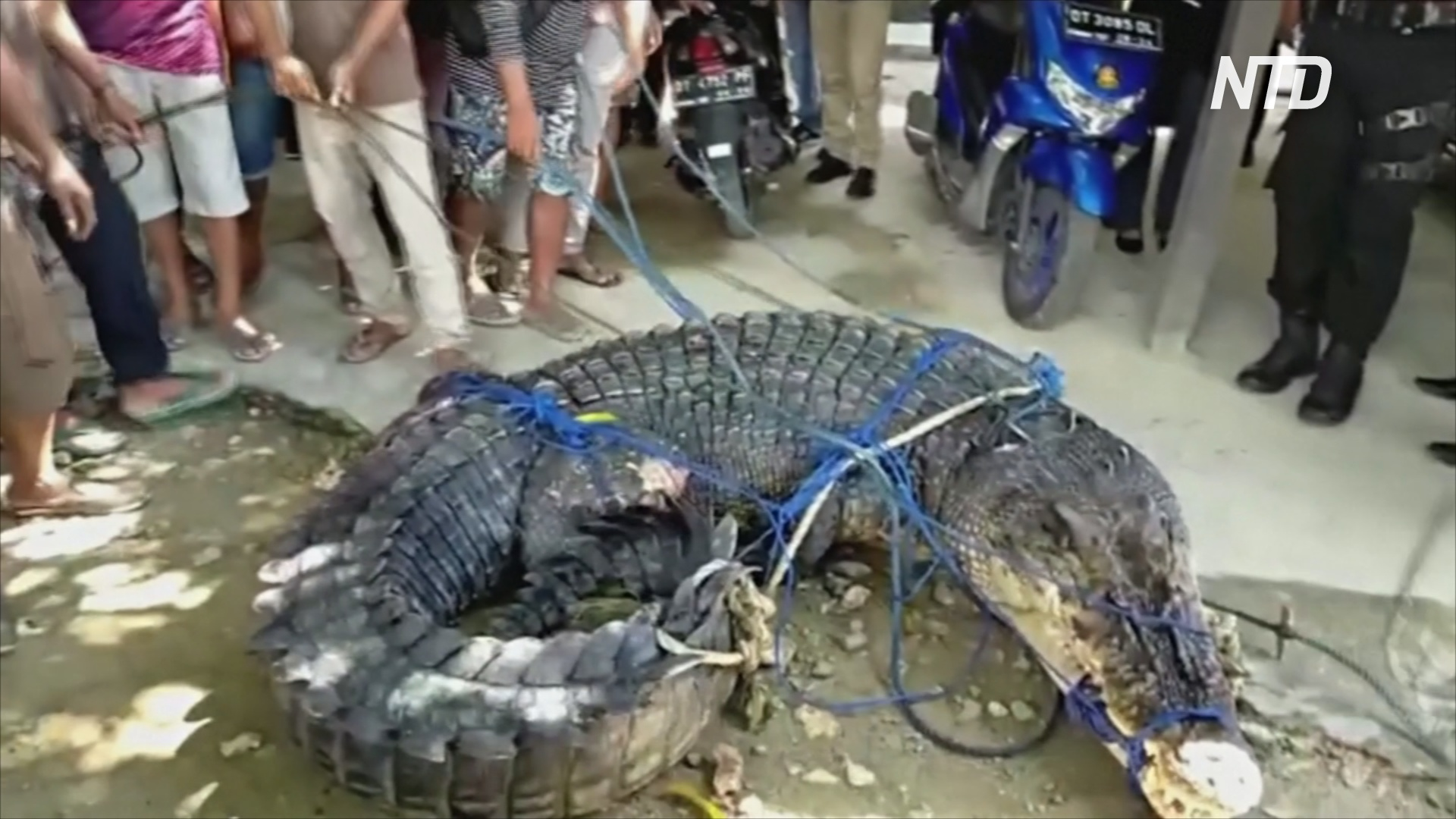 5-метрового крокодила-людоеда поймали в Индонезии