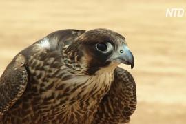 Соревнования для соколов в Эр-Рияде помогают защитить хищных птиц