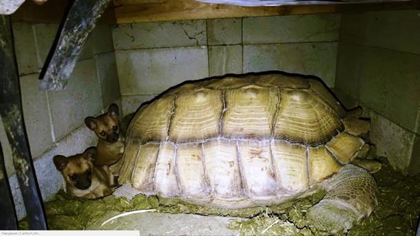2019 12 31 005158 - Щенки-сироты нашли утешение у дедушки-черепахи