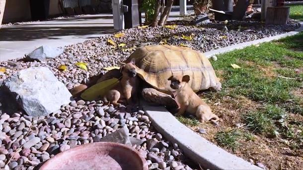 2019 12 31 005212 - Щенки-сироты нашли утешение у дедушки-черепахи