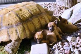 Щенки-сироты нашли утешение у дедушки-черепахи