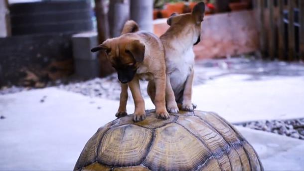2019 12 31 005230 - Щенки-сироты нашли утешение у дедушки-черепахи
