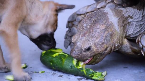 2019 12 31 005238 - Щенки-сироты нашли утешение у дедушки-черепахи
