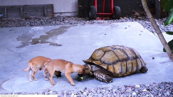 2019 12 31 005243 - Щенки-сироты нашли утешение у дедушки-черепахи