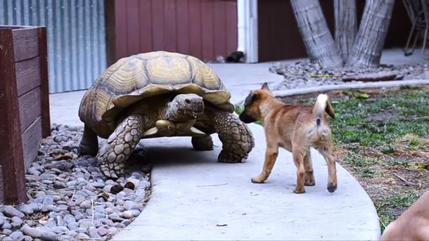 2019 12 31 005306 - Щенки-сироты нашли утешение у дедушки-черепахи