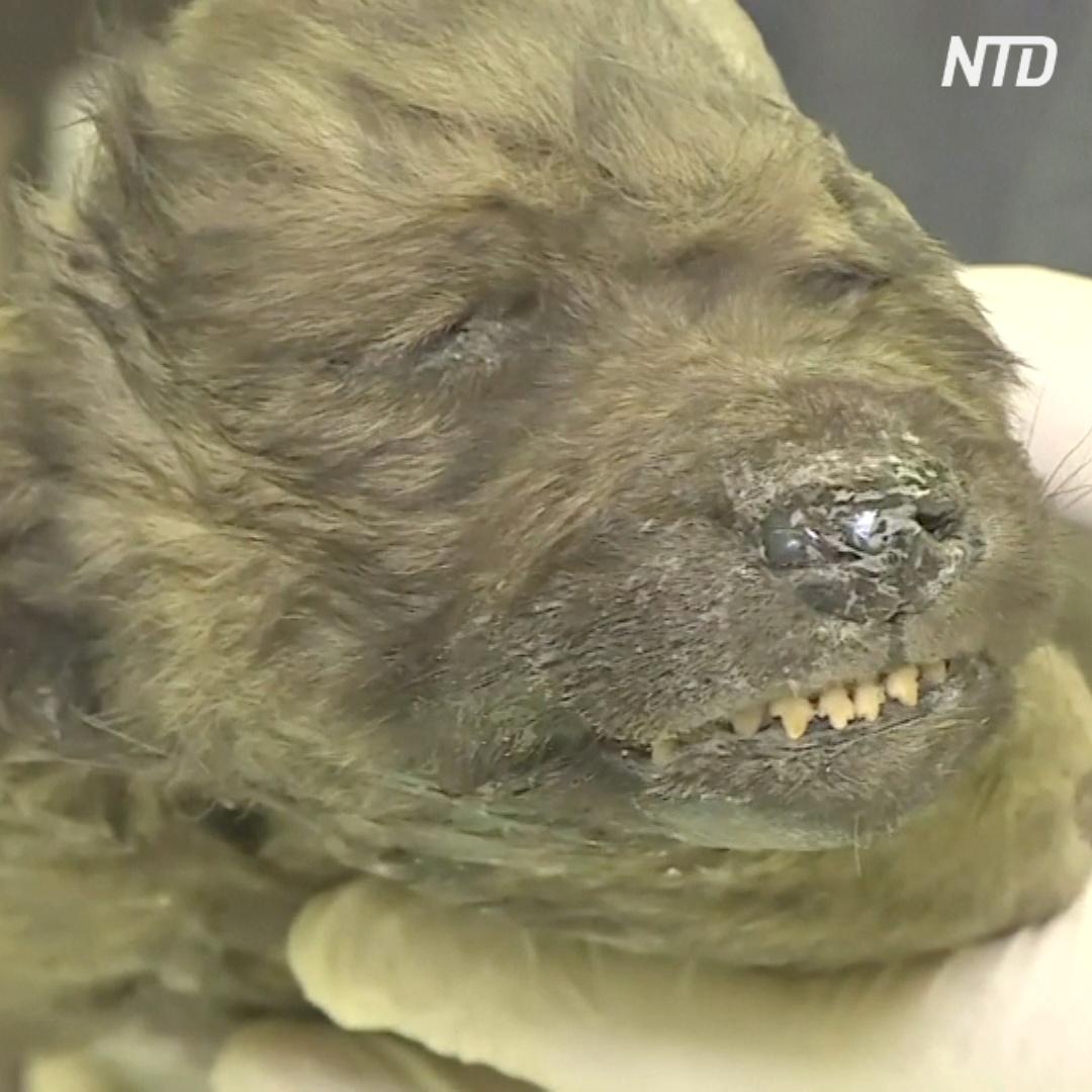 Останки щенка возрастом 18 000 лет показали в Якутии