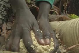 Может ли энсета или «стероидный банан» спасти африканцев от голода?