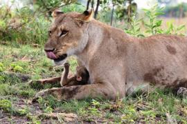 Львица спасла от смерти детёныша бабуина