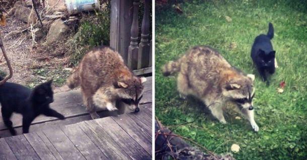 Как кошки охраняли енота
