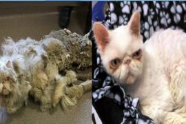 Состриженная с кота шерсть весила больше его веса. Видео